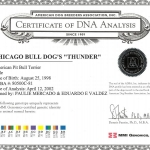Chicago BullDod's Thunder Certificate Of DNA Analysis