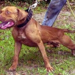 Evolution Kennel's Ch Comanche