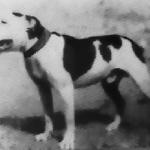 Fox Alvin The Dog