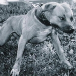 southern-kennels-grand-champion-may-day-rom