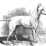 white english terrier