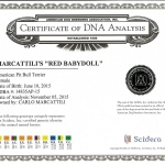 Central Coast Kennel's Red Babydoll Certificate DNA Analysis