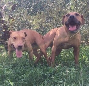 Central Coast Kennel's Eurobuck x Red Babydoll