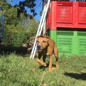 Central Coast Kennel's Puppeteer (Open for stud)